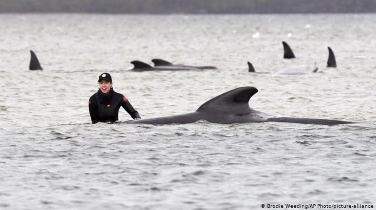 Imagem de grupo de baleias encalhadas