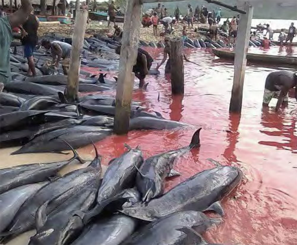 Imagem de golfinhos mortos em caçada nas Ilhas Salomão