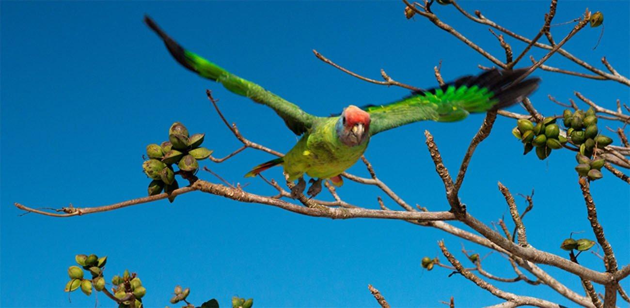 Imagem de papagaio de cara roxa