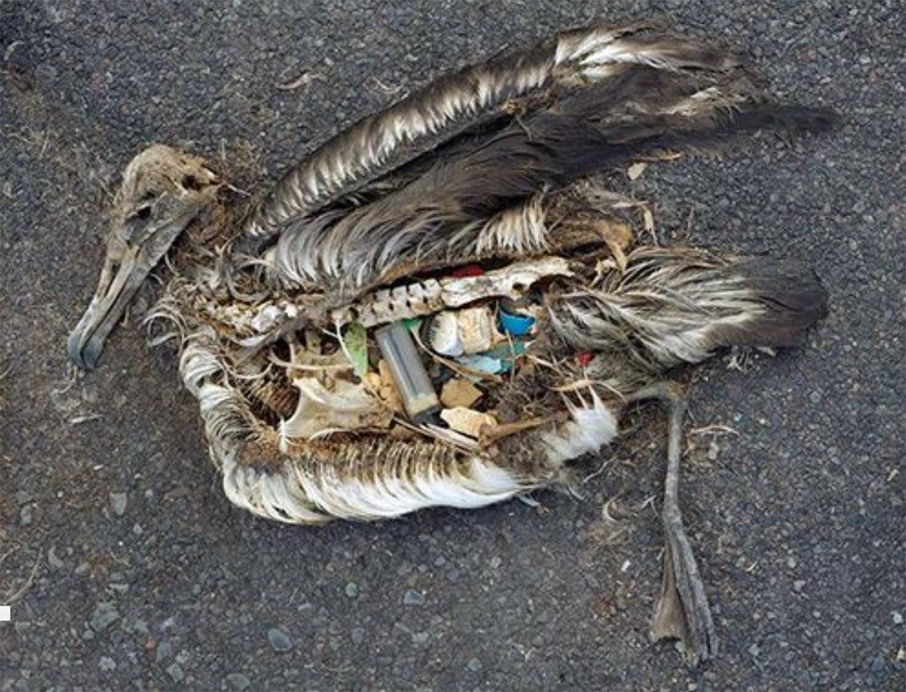 Imagem de ave com estômago recheado de plástico