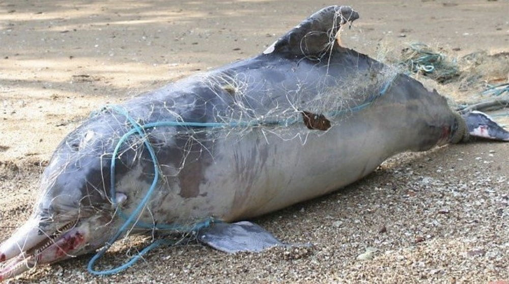 Imagem de golfinho morto por rede de pesca