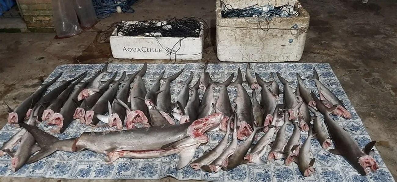 Imagem de tubarões pescados ilegalmente em Alcatrazes