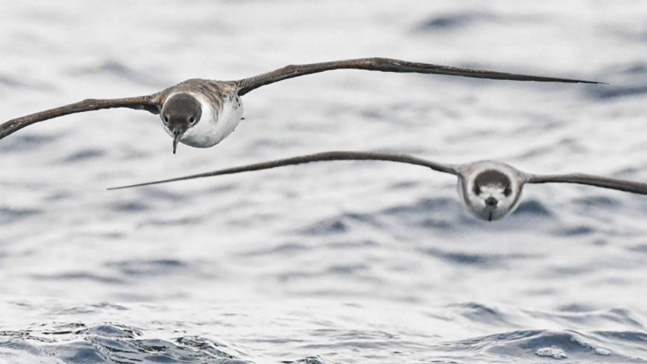 Imagem de aves oceânicas