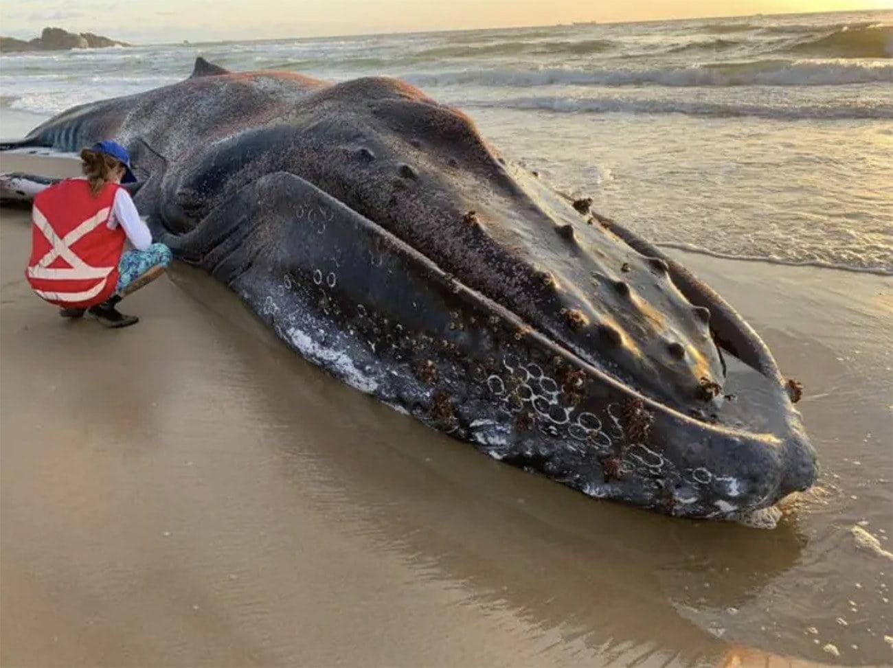 Imagem de baleia jubarte morta em praia