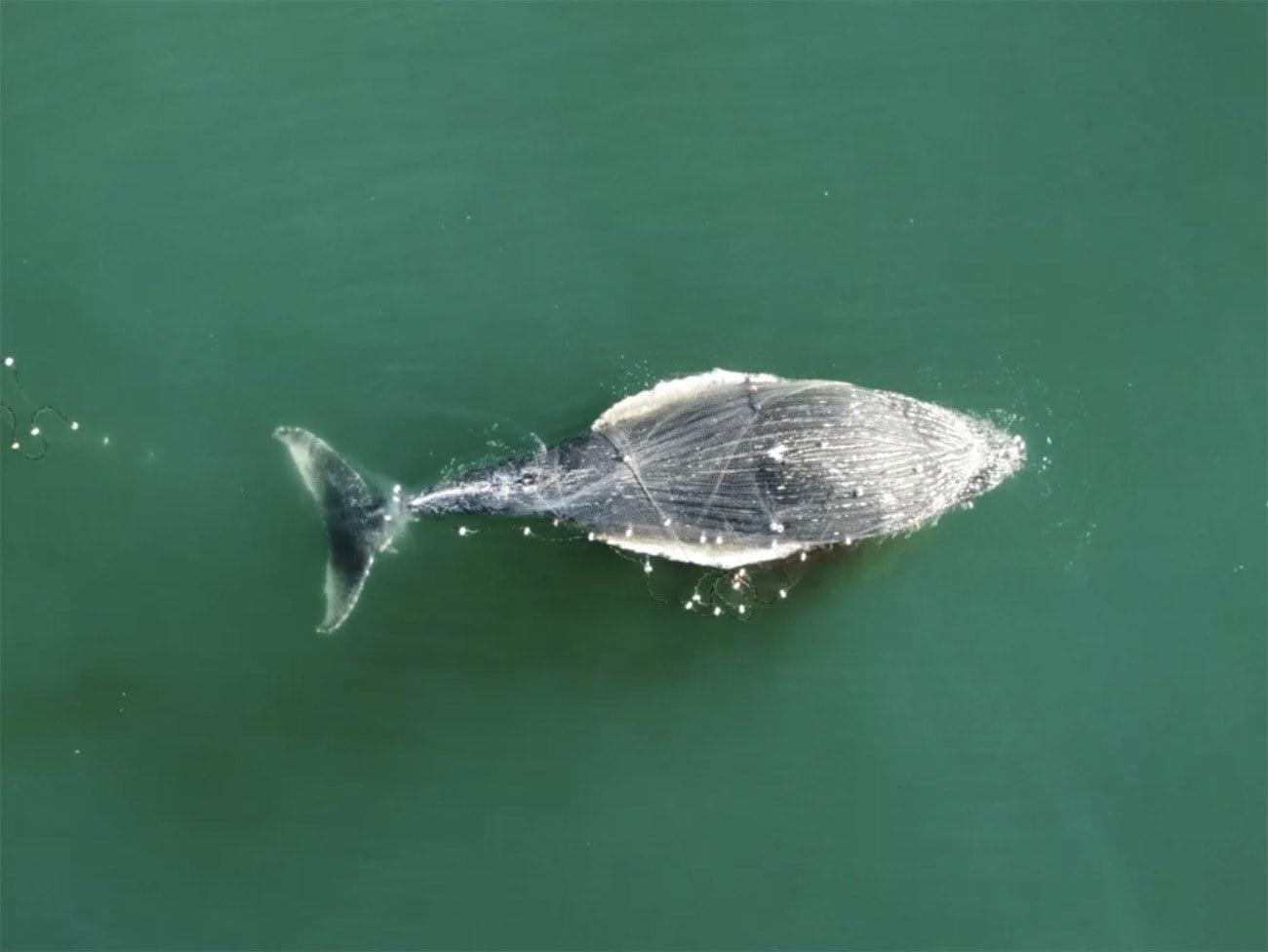 Imagem de mortes de baleias enroladas em rede