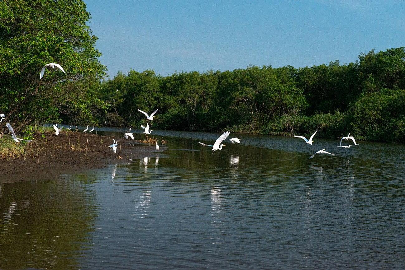 Imagem de garças no manguezal
