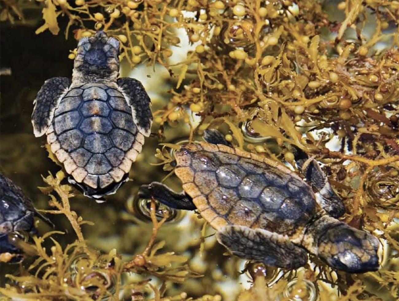 Imagem de tartarugas se alimentando de sargaços