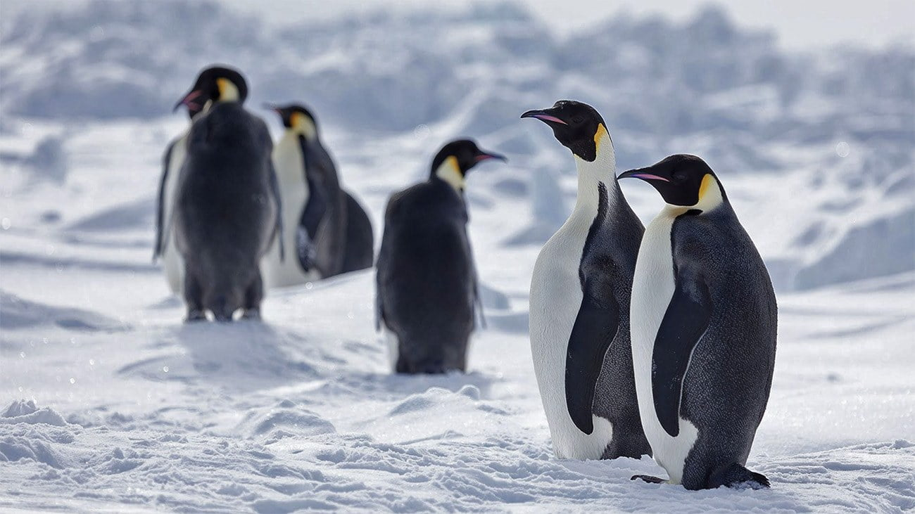Imagem de pinguins imperadores