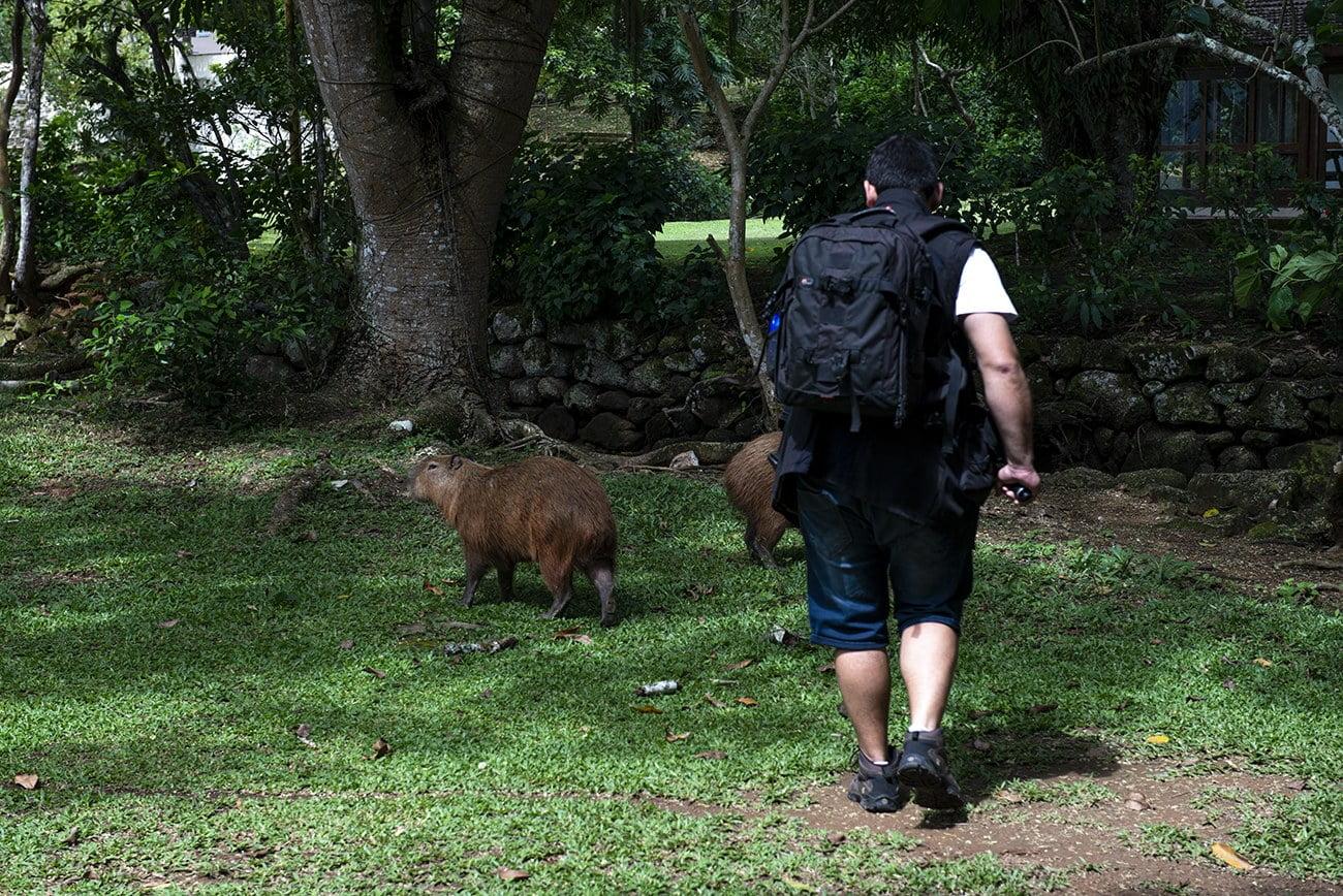 imagem de capivaras na Ilha Anchieta