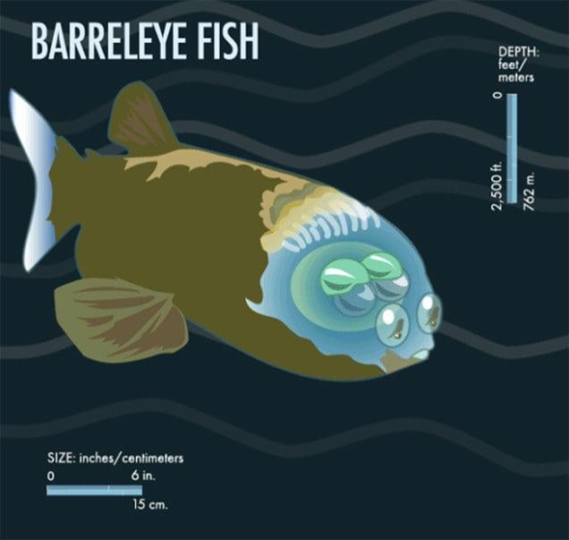 infográfico mostra peixe com cabeça transparente