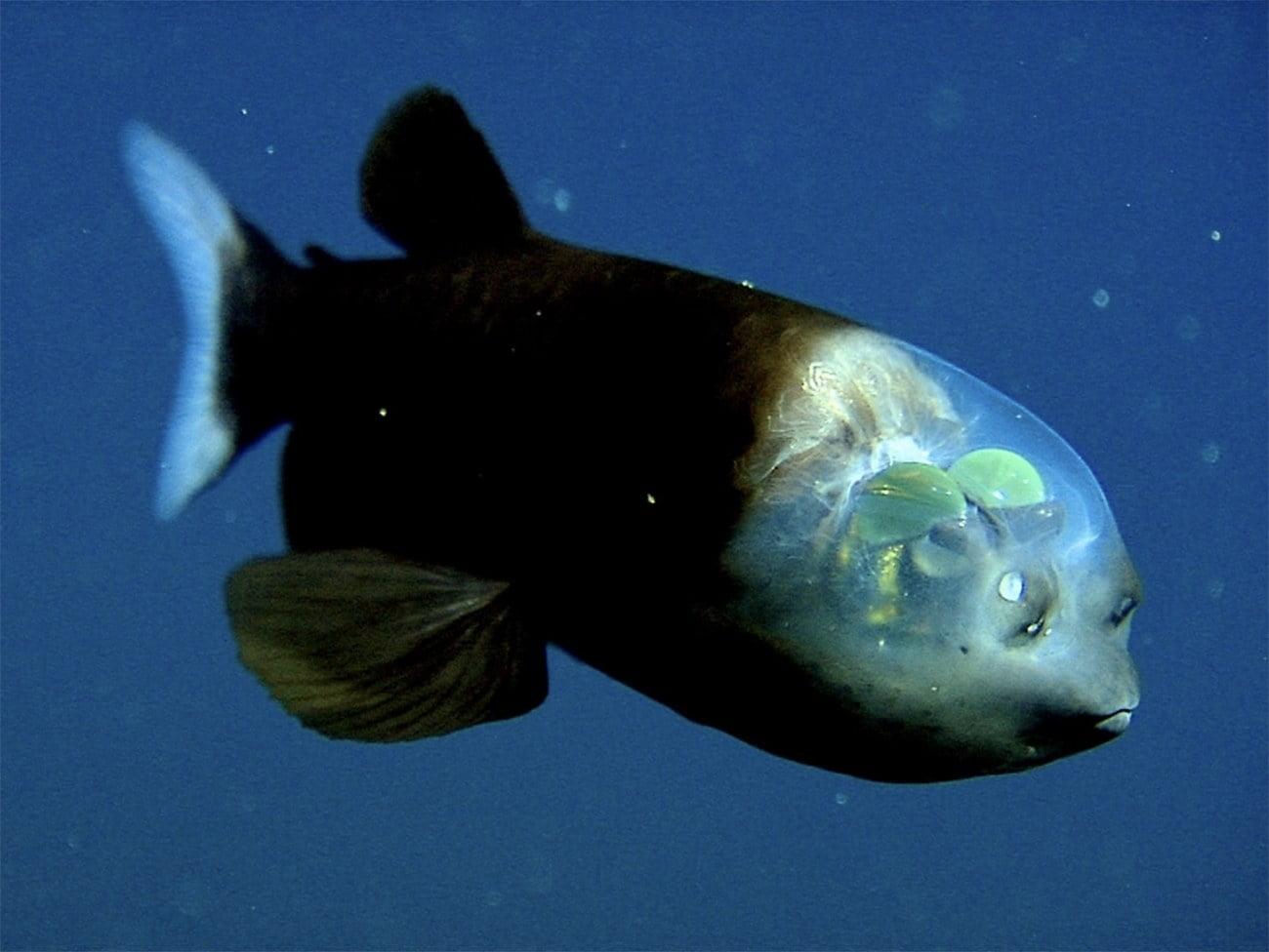 imagem de peixe com cabeça transparente