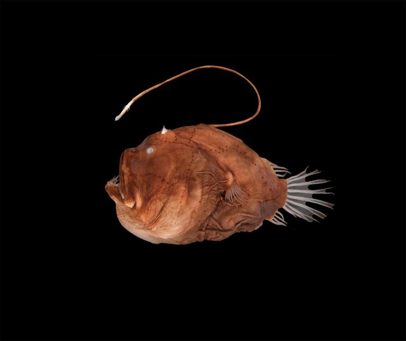 imagem de peixe capaz da bioluminescência