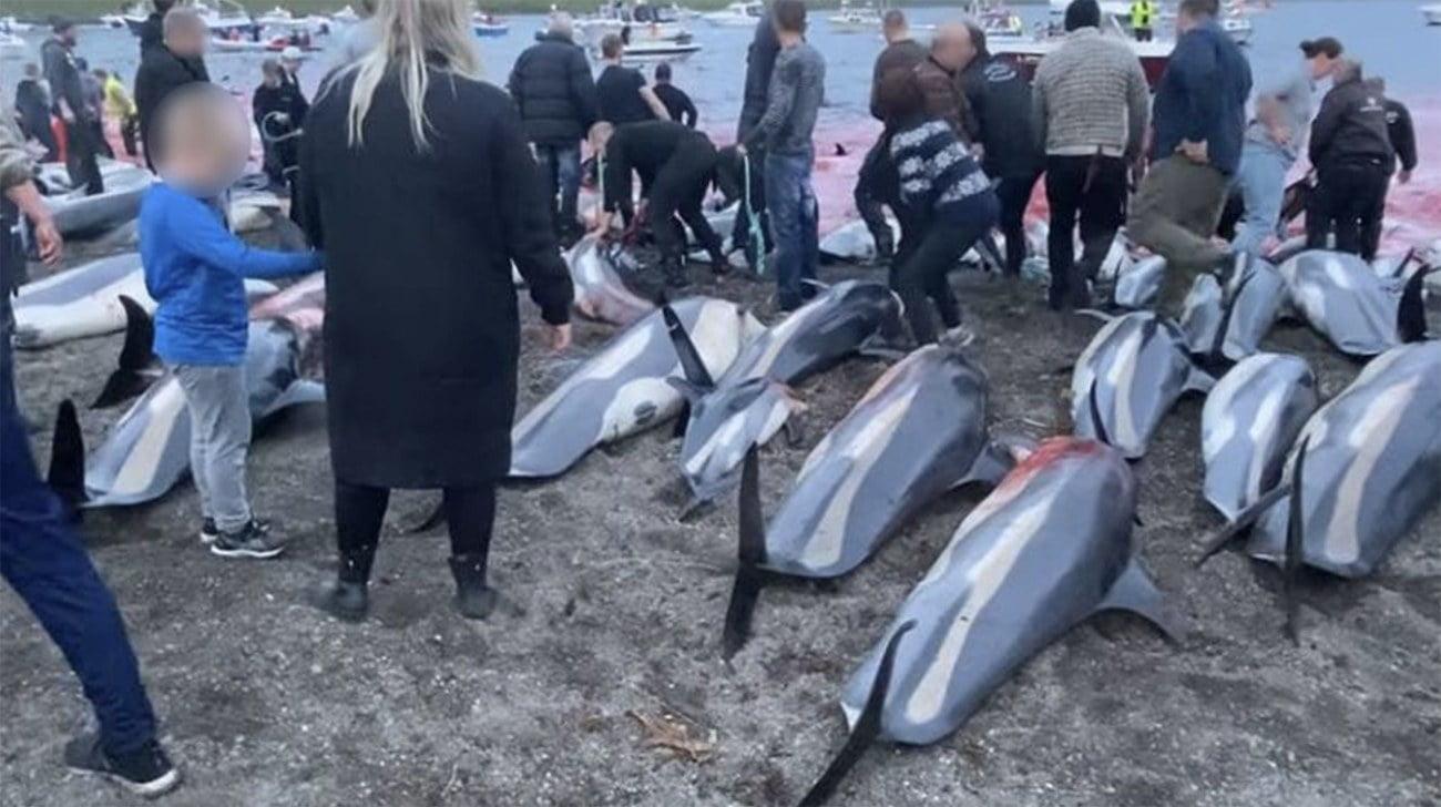 Imagem de matança de golfinho em Faroé