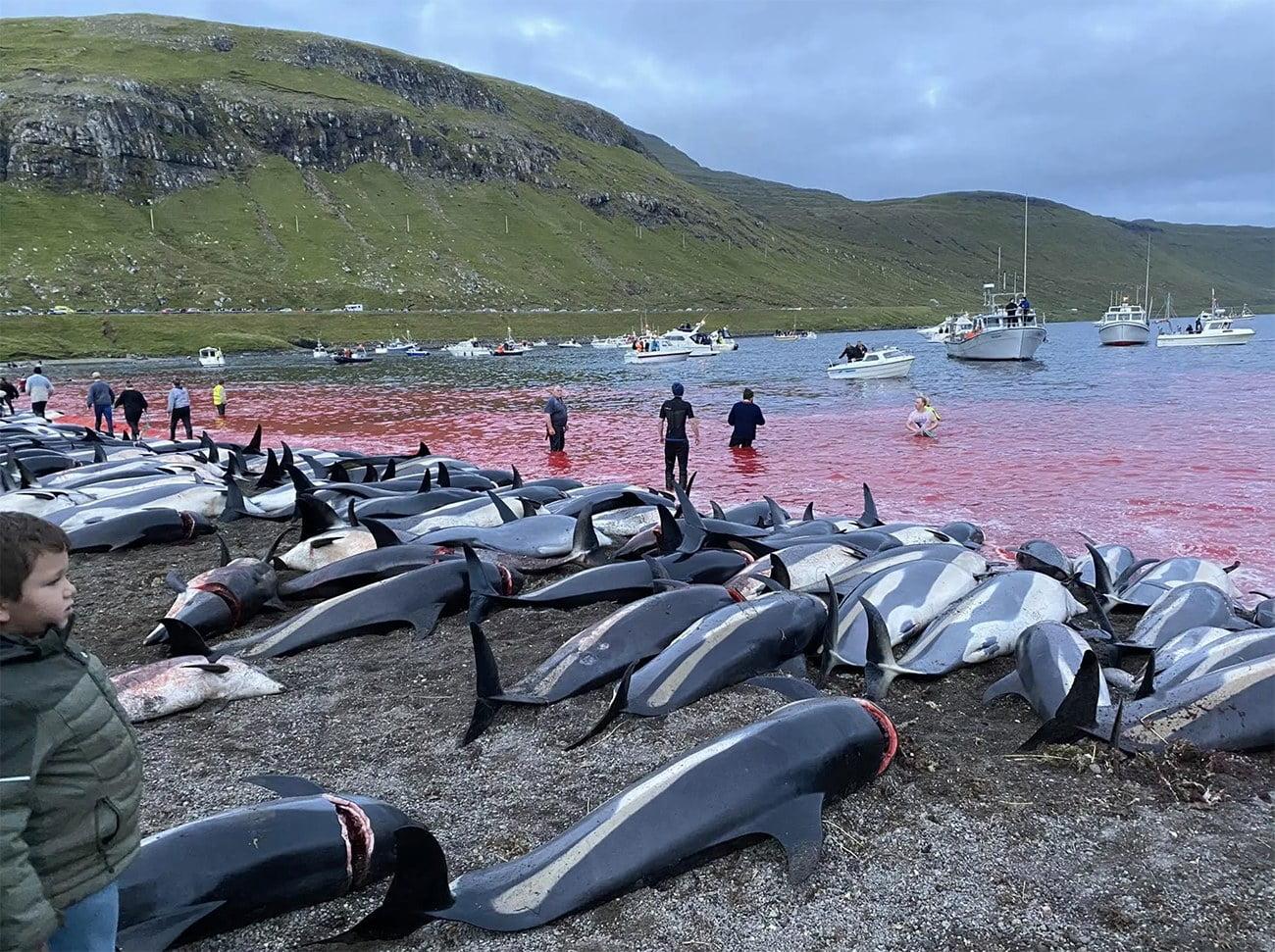 Imagem de matança de golfinhos em Faroé