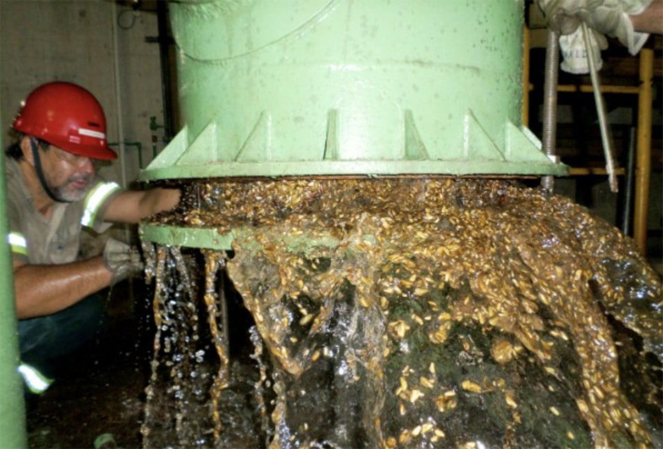 Imagem de mexilhão-dourado espécie invasiva aquática