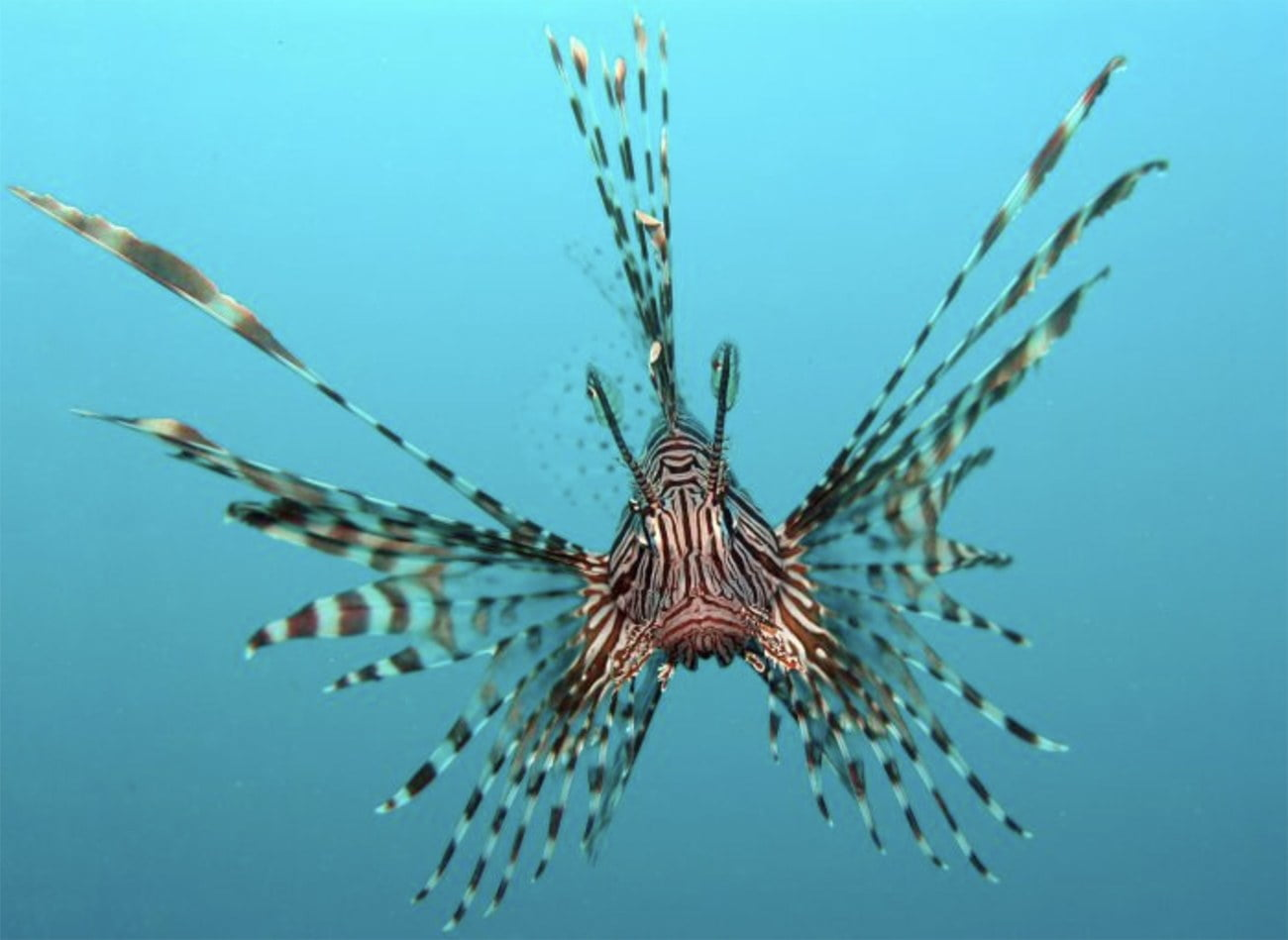 Imagem do peixe-leão