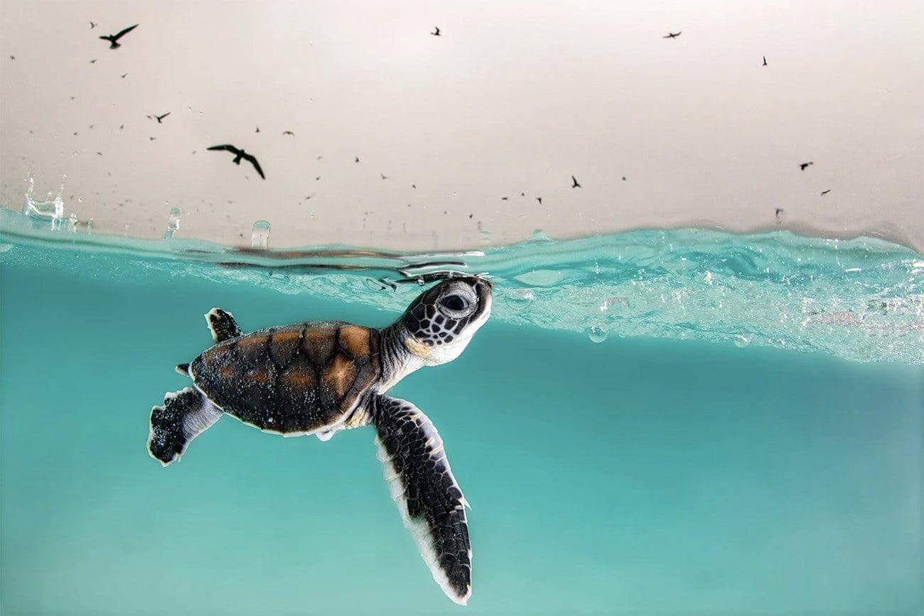 Imagem de filhote de tartaruga